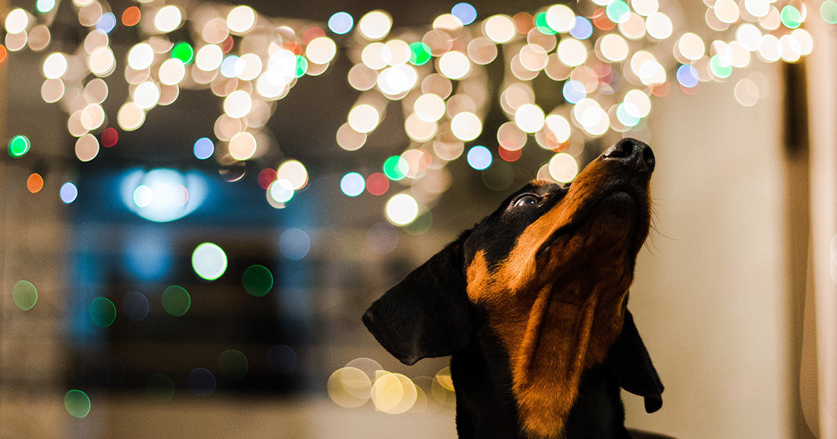 Dog looking up at Christmas lights.